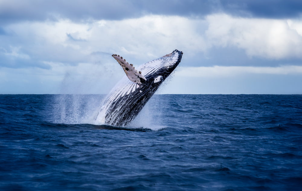 Whales are Gathering Bitcoin In Spite Of Its Delaying Energy 1
